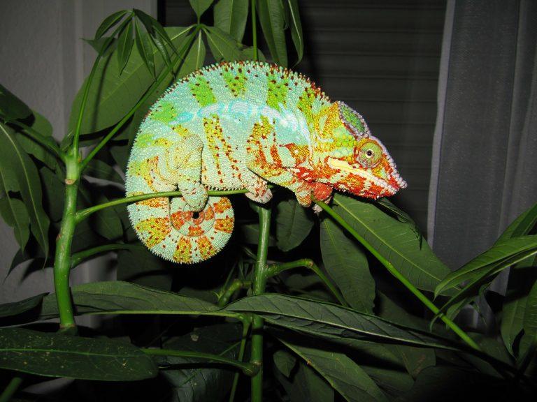 Dlaczego kameleon zmienia kolor?