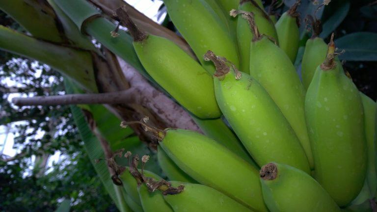 Dlaczego banany są krzywe?
