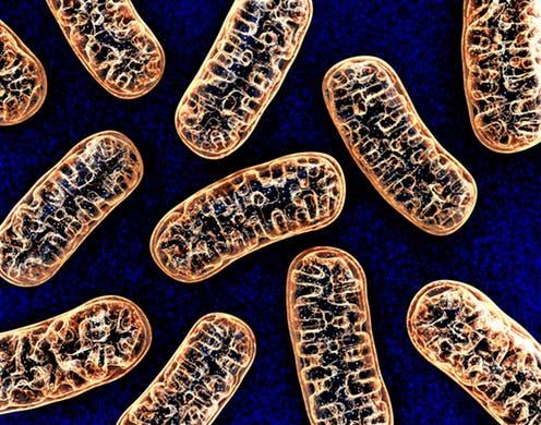 Mitochondria – komórkowe minielektrownie