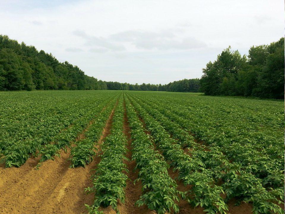 Pole uprawne ziemniaków