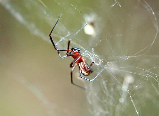 Pająk tworzący oprząd pajęczyny